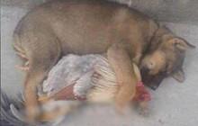 Dân mạng thích thú khi thấy cảnh chó ôm gà ngủ ngon lành giữa trưa hè