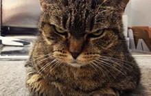 14 boss mèo luôn cau có như là cả thế giới đang thiếu nợ chúng nó vậy