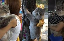 Em mèo béo như khủng long tẩm bột nhưng suốt ngày nũng nịu đeo balô cute