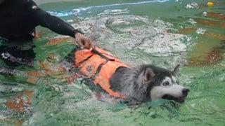 Chú chó Husky béo ú quyết định giảm cân và cái kết không tưởng