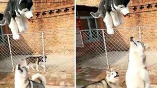 2 chú chó Husky ngố lập 'đội giải cứu' người bạn mắc kẹt trên dây, dân mạng xem xong cười nghiêng ngả