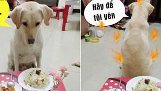 Chú chó hờn dỗi sau khi nhìn bàn ăn mà chủ cất công chuẩn bị cầu kỳ
