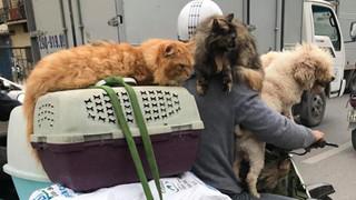Chủ đi làm, cả đàn chó mèo đánh đu trên xe máy đi cùng cho vui