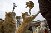 Đến với Đảo Tashirojima và  Đảo Aoshima, thiên đường dành cho loài mèo