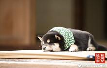 Vì quá dễ thương, chú Shiba nhỏ đang là tâm điểm của một chương trình truyền hình Nhật Bản