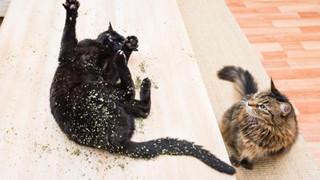 Đừng tưởng chỉ có sen mới biết phê pha, boss mèo cũng biết 'phê cỏ' là gì đấy