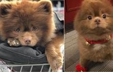 Tin nổi không: Chú chó đáng yêu này từng bị chủ bỏ rơi vì… quá bự