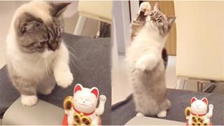 Mèo cưng bắt chước mèo 'Thần tài', giơ đôi chân ngắn lên vẩy vẩy khiến CĐM tan chảy