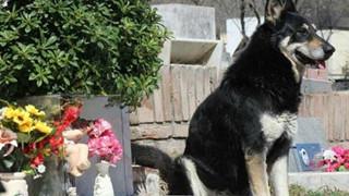 Cảm động rơi nước mắt trước câu chuyện chú chó xin hoa trắng đi viếng mộ chủ