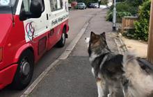 Góc đáng yêu: Mê ăn kem, chú chó Alaska quyết tâm chờ xe kem đến để mua mỗi ngày