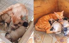 Quá buồn vì mất con nên mèo mẹ lén sang chăm sóc 3 chú chó con cho đỡ nhớ