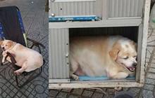 Cộng đồng mạng thích thú với chú chó vòng eo suýt 56, ngoan ngoãn bám theo bà đi làm mỗi ngày