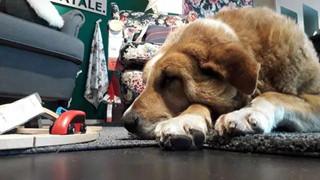 Ikea Store ở Ý mở cửa cưu mang những chú chó lang thang trong mùa đông giá lạnh khiến cộng đồng người Ý phải hãnh diện