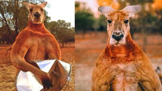 """CĐM tiếc nuối khi """"hotboy"""" kangaroo tay không bóp nát xô kim loại và có tới 12 cô vợ đã qua đời"""