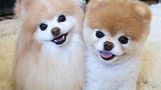 Chú chó đáng yêu nhất thế giới đột ngột qua đời để lại nhiều tiếc thương cho cộng đồng mạng
