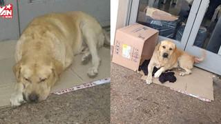 Chủ nhân đã qua đời hơn một tuần nhưng chú chó vẫn kiên quyết nằm đợi trước cửa bệnh viện