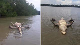 """Chú cá sấu chết toi vì """"yêu"""" quá sức, CĐM: """"Sướng quá hóa khổ là có thật"""""""