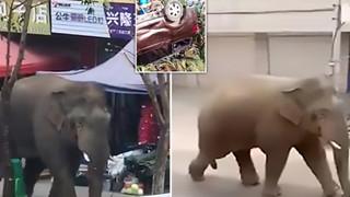 Không tìm được bạn gái, chú voi Trung Quốc điên cuồng phá phách cả con phố