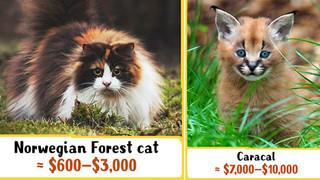 10 chú mèo quý nhất, đắt giá nhất trong lịch sử, loài cuối cùng có thể mua cả 1 chiếc xe hơi hạng sang in Tin tức