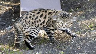 Mèo chân đen: Loài mèo nguy hiểm nhất trên Trái Đất ẩn sau vẻ ngoài đáng yêu