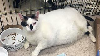 Chú mèo béo ngốc nghếch nhất thế giới bị bỏ rơi vì quá mập, phải giảm cân mới được nhận nuôi