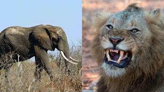 Góc quả báo: Tên trộm sừng tê giác bị voi giẫm chết, xác thì bị sư tử ăn thịt