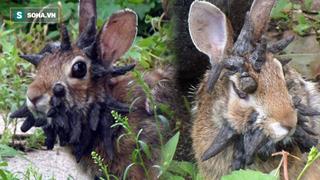 """Phát hiện thỏ """"zombie"""" giống hệt trong game: Sừng mọc tua tủa trên khuôn mặt"""