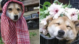 """Gặp gỡ boss Shiba bán hoa nổi tiếng ở Nhật Bản, được phong là """"bà chủ nhàn rỗi"""" của các nhân viên trên nông trại"""
