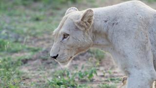 Clip: Liều mạng vuốt ve sư tử cái, người đàn ông bị cắn suýt đứt lìa cánh tay