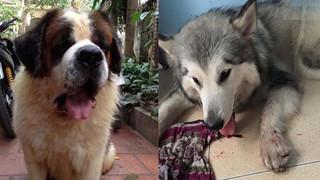 Hàng loạt chú chó bị sốc nhiệt trong những ngày nắng nóng kỷ lục trên 40 độ C