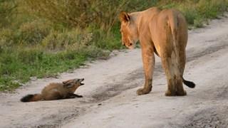 Cáo tai dơi - Loài cáo đáng yêu nhưng đủ sức cân cả báo săn tại châu Phi
