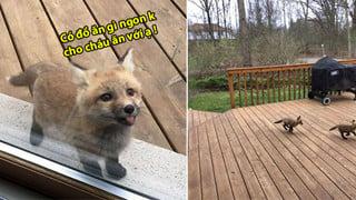 Cả nhà gặp bao nhiêu là may mắn khi được 1 đàn cáo con dễ thương ghé thăm nhà vào những ngày hè ?