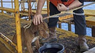 Chú chó bí ẩn bơi xuyên biển tới 1 giàn khoan dầu cách bờ 200 km