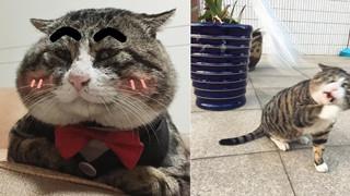 Chú mèo béo cơ nhỡ bỗng thành ngôi sao internet vì biểu cảm quá drama trong mọi khung hình