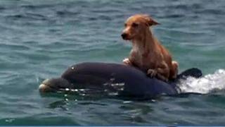 Mắc kệt giữa biển xa -  tướng chết chắc ai ngờ chú chó Turbo được cá heo giải cứu đưa vào bờ an toàn