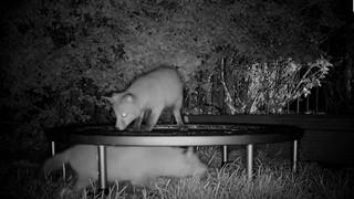 Đáng yêu vô đối: Thấy đôi cáo nhỏ hay mò vào vườn chơi, chủ nhà sắm hẳn đệm nhún cho chúng nô đùa mệt nghỉ