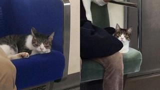 'Hoàng thượng' mèo có sở thích đi tàu điện ngầm, còn tỏ thái độ lồi lõm khi bị bắt vì đi chui quá nhiều