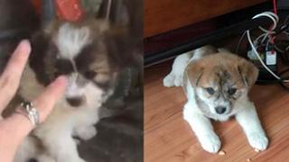 """Mua hàng online được nâng lên một """"tầm cao"""" mới: Mua chó Poodle lai Nhật giá triệu rưỡi, nhận về chó ta 1 tháng tuổi"""