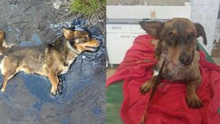 Chú chó nhỏ sống sót kì diệu dù bị dính chặt vào vũng nhựa nhờ nghị lực phi thường