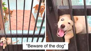 Cẩn thận 30 chú chó cực hung dữ đằng sau tấm bảng cảnh báo coi chừng chó dữ
