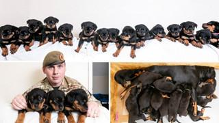 Mẹ chó Rottweiler tại Anh suýt phá kỉ lục khi sinh 16 bé đáng yêu trong một lứa