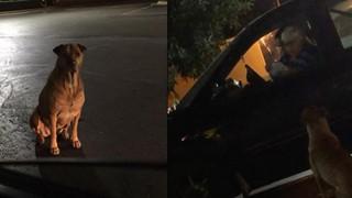 Bé chó béo ú giả bộ đáng thương để xin ăn ngay trước McDonald, cô chủ phải than trời