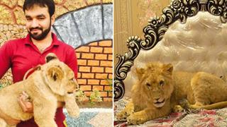 """Gia đình Pakistan nuôi sư tử như thú cưng, mặc cho hàng xóm e ngại vẫn khẳng định """"nó không cắn đâu"""""""