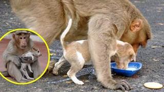 Cảm động khỉ mẹ mất con nhận nuôi chú chó nhỏ, còn nhường cho nó ăn trước