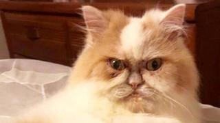 """Mặt mũi lúc nào cũng """"khó ở"""", chú mèo Ba Tư được dân mạng thích thú tôn làm Grumpy Cat thế hệ mới"""