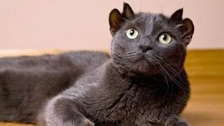 Bé mèo 4 tai cực ngộ nghĩnh và đáng yêu đốn tim cộng đồng mạng