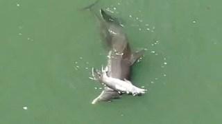 Cá heo ôm xác con đẩy lên mặt nước trong tuyệt vọng: Câu chuyện buồn chứng minh tình mẫu tử ở động vật là có thật