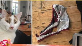 Chú mèo chuyên đi dòm trộm vào nhà người khác, canh me để trộm đồ lót về nhà…tặng chủ