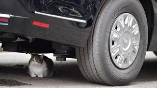 Con mèo mập địt Larry cản trở chuyến thăm của Tổng thống Trump bằng cách ngủ banh mắt dưới gầm xe của ổng