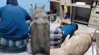 Cô vợ bất lực nhìn chồng cưng nựng chú chó Husky hơn cả mình